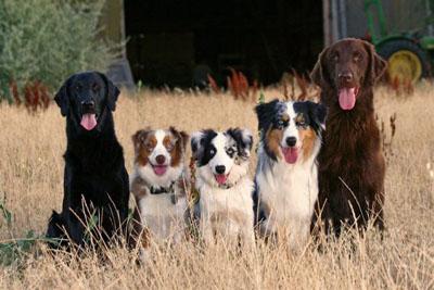 hunde størrelser