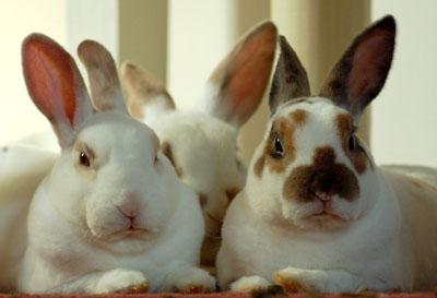 kaninracer